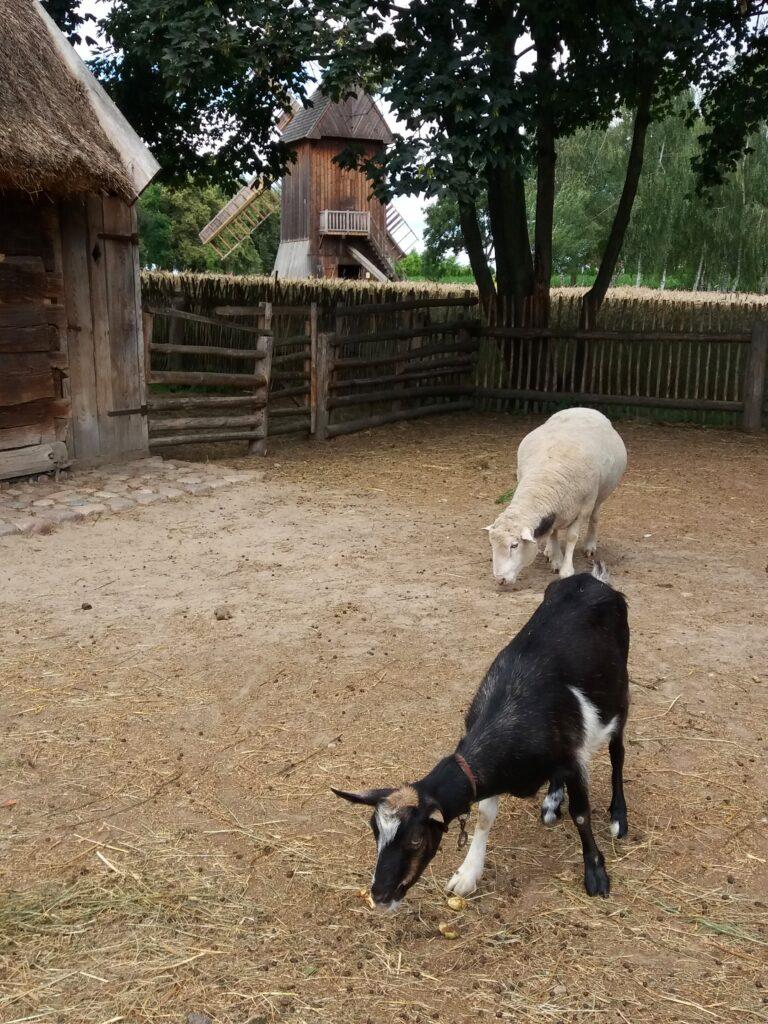 koza i owca w zagrodzie