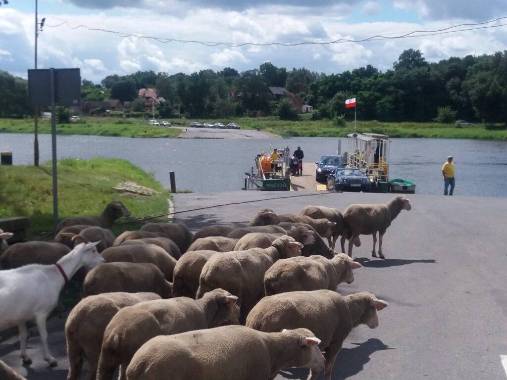 Owieczki czekają na transport promem we wsi Bojadła -